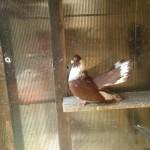 badea radu porumbei (0)
