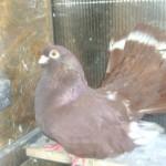 badea radu porumbei (1)
