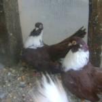 badea radu porumbei (3)
