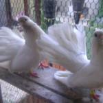 badea radu porumbei (4)