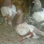 badea radu porumbei (5)