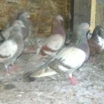 badea radu porumbei (6)
