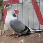 barboianu ionut porumbei (2)