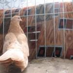 barboianu ionut porumbei (21)