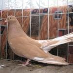 barboianu ionut porumbei (22)