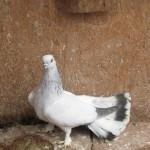 barboianu ionut porumbei (23)