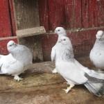 barboianu ionut porumbei (24)
