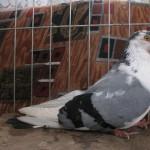 barboianu ionut porumbei (3)