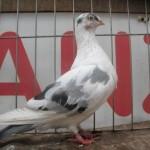 barboianu ionut porumbei (4)