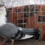 barboianu ionut porumbei (6)