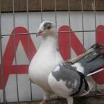 barboianu ionut porumbei (7)
