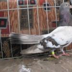 barboianu ionut porumbei (8)