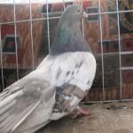 barboianu ionut porumbei (9)