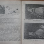 bolile porumbeilor (133)
