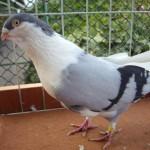 piussi ittorio porumbei (0)