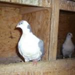piussi ittorio porumbei (1)