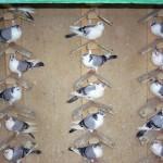 piussi ittorio porumbei (10)