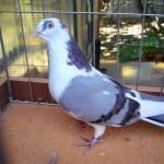 piussi ittorio porumbei (2)