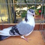 piussi ittorio porumbei (3)