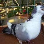 piussi ittorio porumbei (4)