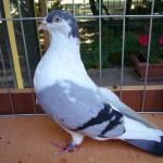 piussi ittorio porumbei (5)