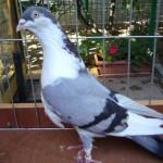 piussi ittorio porumbei (6)