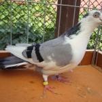 piussi ittorio porumbei (7)