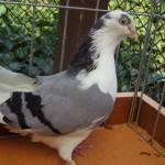piussi ittorio porumbei (8)