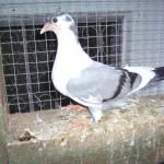 piussi ittorio porumbei (9)