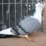 radoi ionel porumbei (3)
