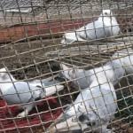 voinic cicerone-porumbei (13)