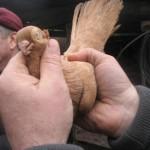 voinic cicerone-porumbei