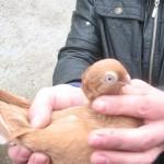 voinic cicerone-porumbei (2)