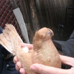 voinic cicerone-porumbei (4)