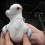 voinic cicerone-porumbei (9)
