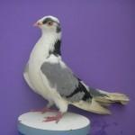 Costin Nelu porumbei (2)