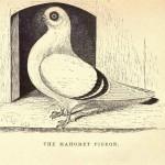 Fancy pigeon by J.C. Lyell (151)