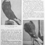 Peterfi Stefan - Cresterea porumbeilor (112)