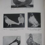 Peterfi Stefan - Cresterea porumbeilor (116)