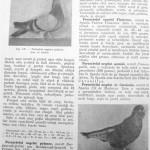 Peterfi Stefan - Cresterea porumbeilor (118)