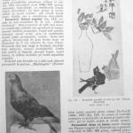 Peterfi Stefan - Cresterea porumbeilor (119)