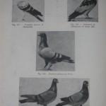 Peterfi Stefan - Cresterea porumbeilor (120)