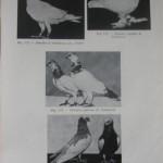 Peterfi Stefan - Cresterea porumbeilor (121)