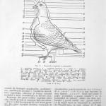 Peterfi Stefan - Cresterea porumbeilor (12)