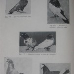 Peterfi Stefan - Cresterea porumbeilor (122)