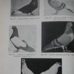 Peterfi Stefan - Cresterea porumbeilor (140)