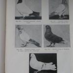 Peterfi Stefan - Cresterea porumbeilor (141)