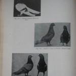 Peterfi Stefan - Cresterea porumbeilor (142)