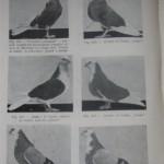 Peterfi Stefan - Cresterea porumbeilor (144)