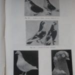 Peterfi Stefan - Cresterea porumbeilor (145)